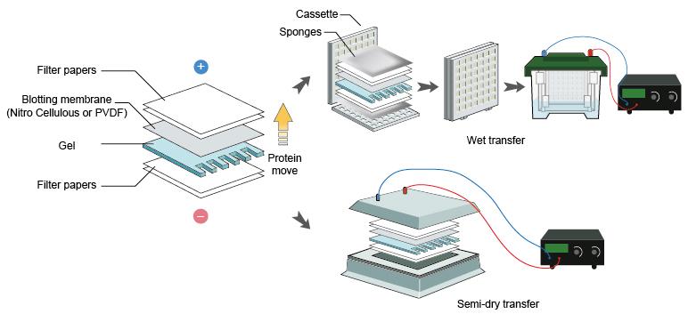 راهنمای حل مشکلات احتمالی روش بلاتینگ نیمه خشک (سمی درای) , انتقال ضعیف , اتصال ضعیف به غشای نیتروسلولز, حساسیت کم تشخیص و یا واکنش پذیری کم, Troubleshooting Semi dry